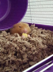 Nuka in the hidden hamster cage.